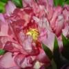 Пион Пинк Дабл Денди/Pink Double Dandy