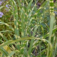 Декоративные злаки и травы (39)