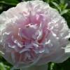 Пион Орхид Энн/ORCHID ANNE