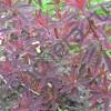 Молочай многоцветный Бонфайр/ BONFIRE