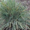 КЕЛЕРИЯ BLUE HAIR GRASS