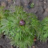 Пион тонколистный/P.tenuifolia