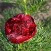 Пион тонколистный махровый/P.tenuifolia Rubra Plena
