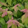Спирея японская Макрофила/Macrophylla