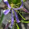 Колокольчик гибридный Блю Октопус/BLUE OCTOPUS