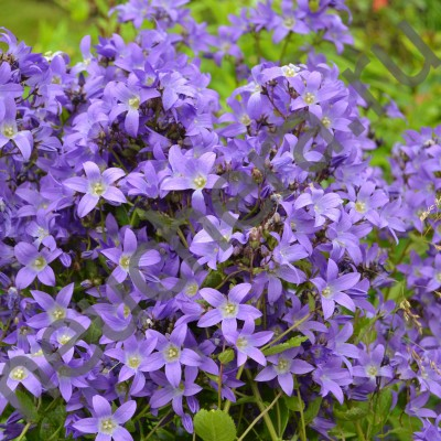 Колокольчик молочноцветковый Бордер Блюз/BORDER BLUES
