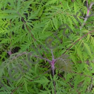 Сумах оленерогий, пушистый Диссекта/Rhus typhina Dissecta