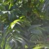 Сумах оленерогий, пушистый/Rhus typhina