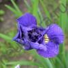 Ирис сибирский Тамбл Баг/Tumble bug