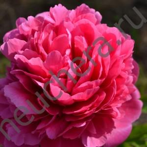 Пион Глоуинг Распберри Роуз/GLOWING RASPBERRY ROSE