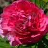 Пион Роуз Харт/ROSE HEART
